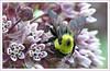 Woodend Milkweed Bee