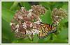 Woodend Milkweed Monarch