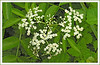 Woodend Elderberry