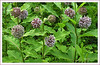 Woodend Milkweed Patch