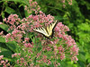 Tiger swallowtail (<I>Papilio glaucus</I>) on spotted Joe-Pye weed (<I>Eutrochium maculatum</I>) Brookside Gardens, Silver Spring, MD