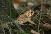 Eastern American toad (<i>Bufo americanus</i>) Huntley Meadows Park, Alexandria, VA