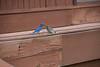 Bluebirds - P1010828
