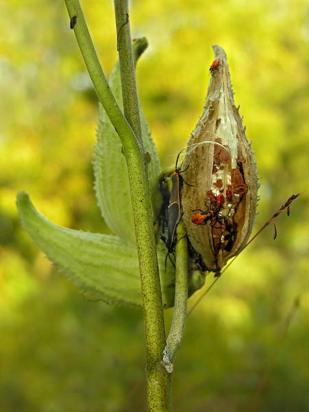 Milkweed Bugs - DSCN7107