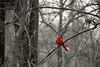 Cardinal B&W - P1110749