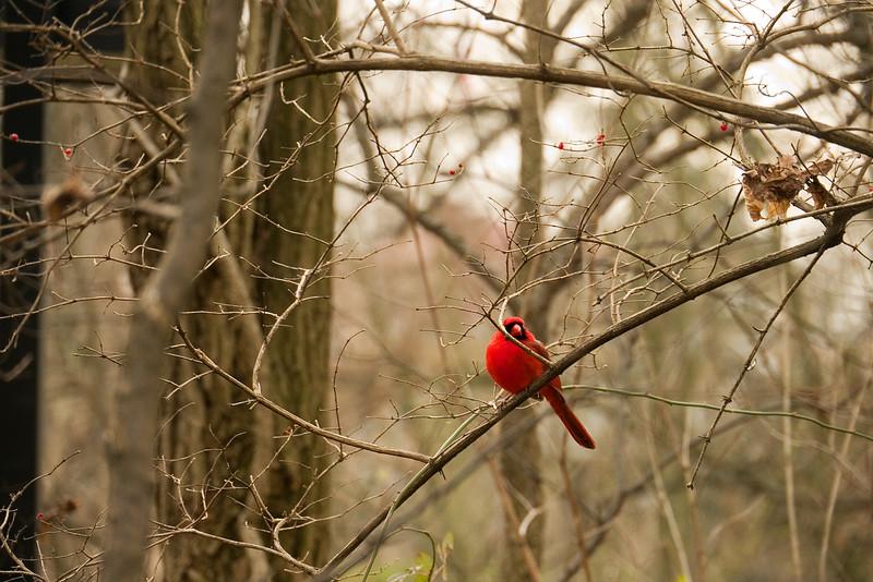 Cardinal Color - P1110749