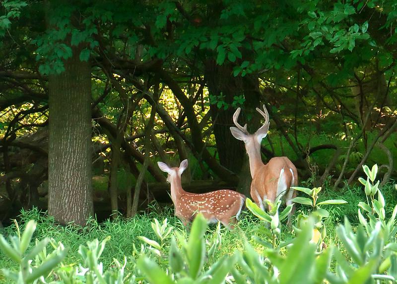 Woodend Summer Deer - P1100087