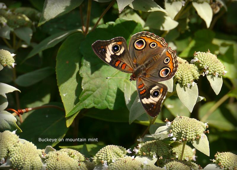 Woodend Summer Buckeye P1040612