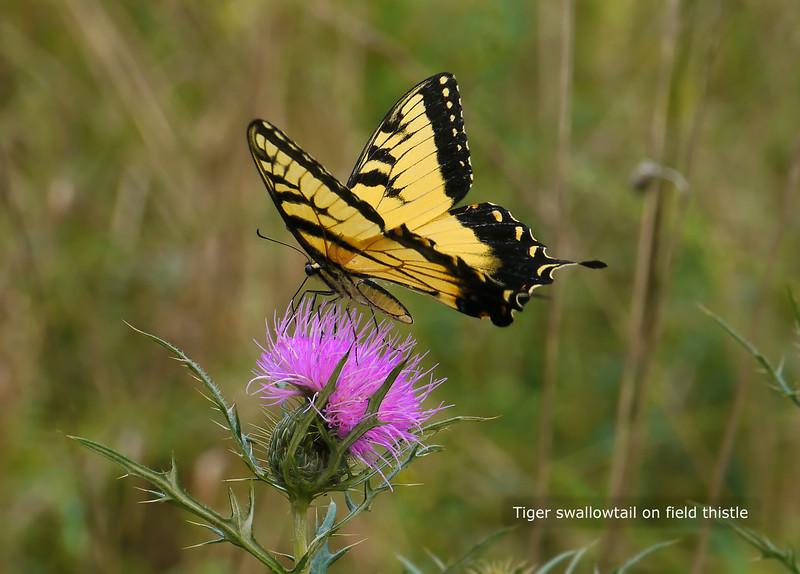 Woodend Summer Swallowtail - P1040535