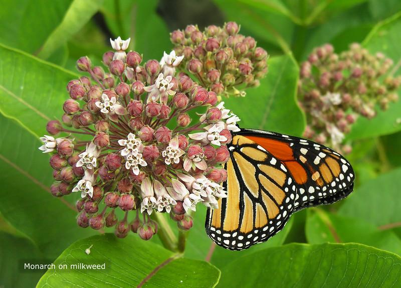Woodend Summer Milkweed Monarch - DSCN6492