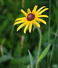 Blackeyed Susan IMG_5217