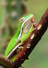 Green tree frog at Jug Bay<br /> For Spring/Summer 2008 catalog