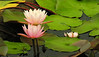 Fragrant waterlily (Nymphaea odorata)<br /> For cover of Summer 2010 catalog