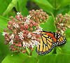 Woodend Summer Milkweed Monarch<br /> For Spring 2009 catalog
