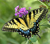 Tiger Swallowtail at Brookside Gardens<br /> For Spring/Summer 2008 catalog
