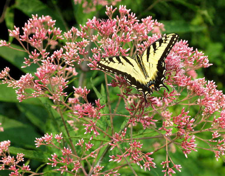 Eastern Tiger Swallowtail on Joe Pye Weed at Brookside<br /> For cover of Summer/Fall 2006 catalog