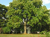 American tulip tree (<I>Liriodendron tulipifera</I>) in early autumn Woodend Sanctuary, Chevy Chase, MD