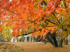 Sugar maple leaves over east lawn in autumn<br /> Woodend Sanctuary, Chevy Chase, MD