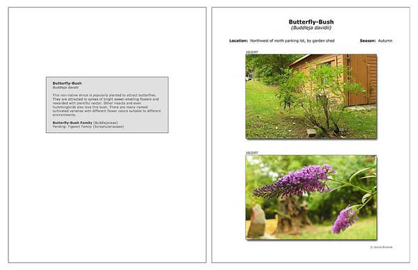 Autumn - Butterfly-Bush