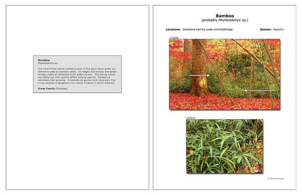 Autumn - Bamboo