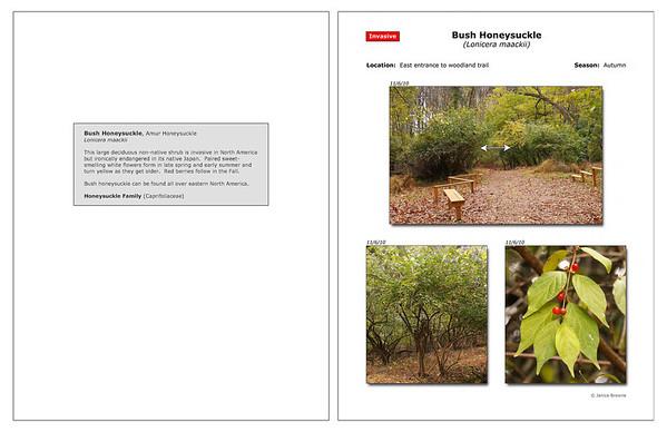 Autumn - Bush Honeysuckle