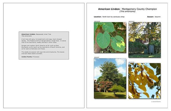 Autumn - American Linden