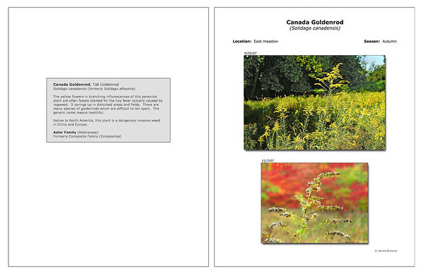Autumn - Canada Goldenrod