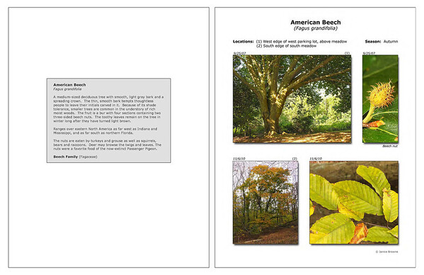 Autumn - American Beech