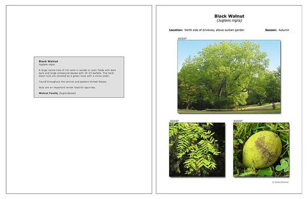 Autumn - Black Walnut