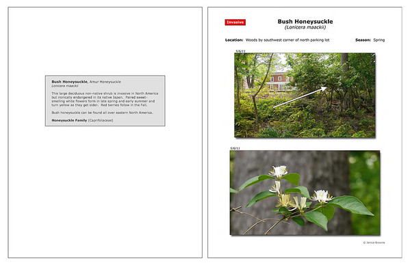 Spring - Bush Honeysuckle