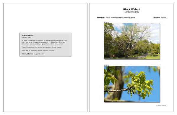 Spring - Black Walnut