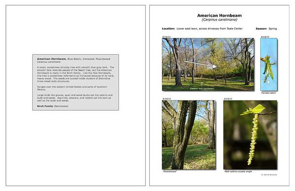Spring - American Hornbeam