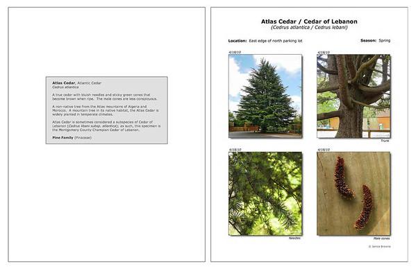 Spring - Atlas Cedar