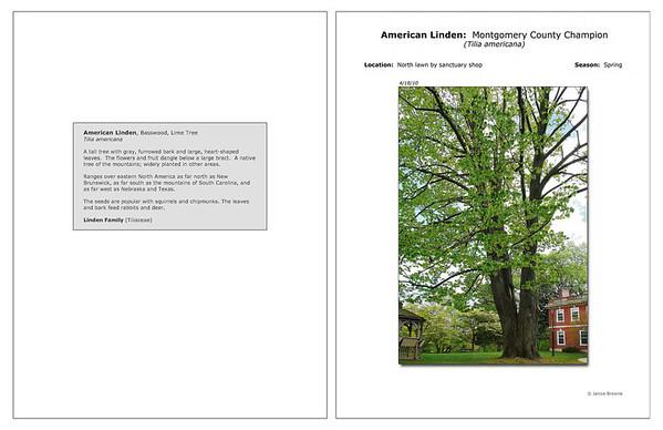 Spring - American Linden