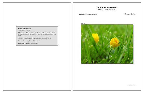 Spring - Bulbous Buttercup
