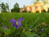 Common blue violet (<I>Viola sororia</I>) in lawn in spring Woodend Sanctuary, Chevy Chase, MD