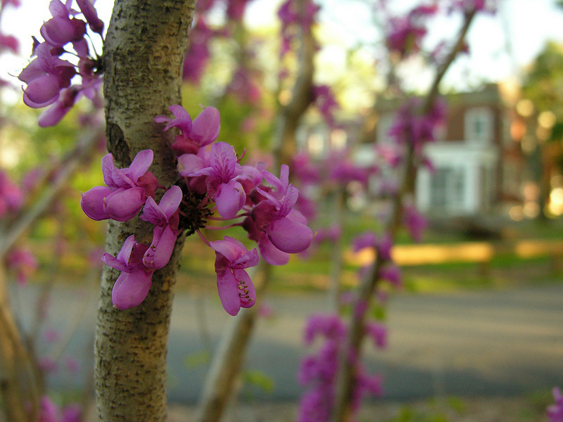 """Chinese redbud flowers (<i>Cercis chinensis</i>) in spring <span class=""""nonNative"""">[non-native]</span> Woodend Sanctuary, Chevy Chase, MD"""