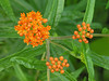 Butterfly weed (<i>Asclepias tuberosa</i>) in early summer Woodend Sanctuary, Chevy Chase, MD