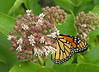 Male monarch (<I>Danaus plexippus</I>) on common milkweed (<I>Asclepias syriaca</I>) in late spring Woodend Sanctuary, Chevy Chase, MD