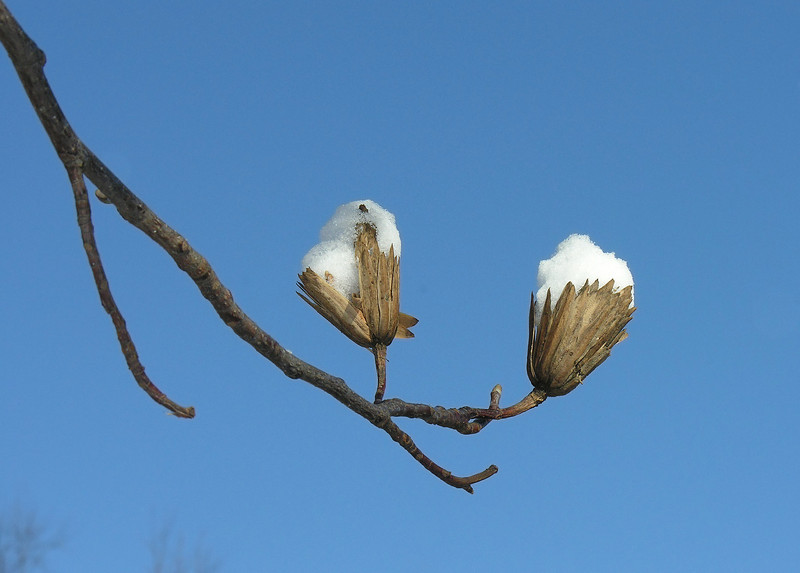 """Tuliptree """"snowcones"""" (<I>Liriodendron tulipifera</I>) Woodend Sanctuary, Chevy Chase, MD"""