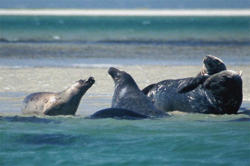 Gray seals near Morris Island