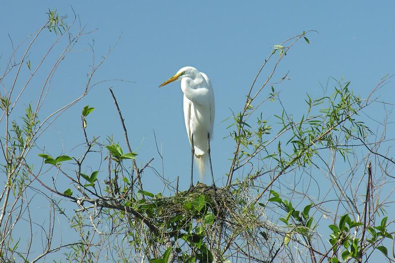 Great egret on nest<br /> Shark Valley, Everglades National Park, FL