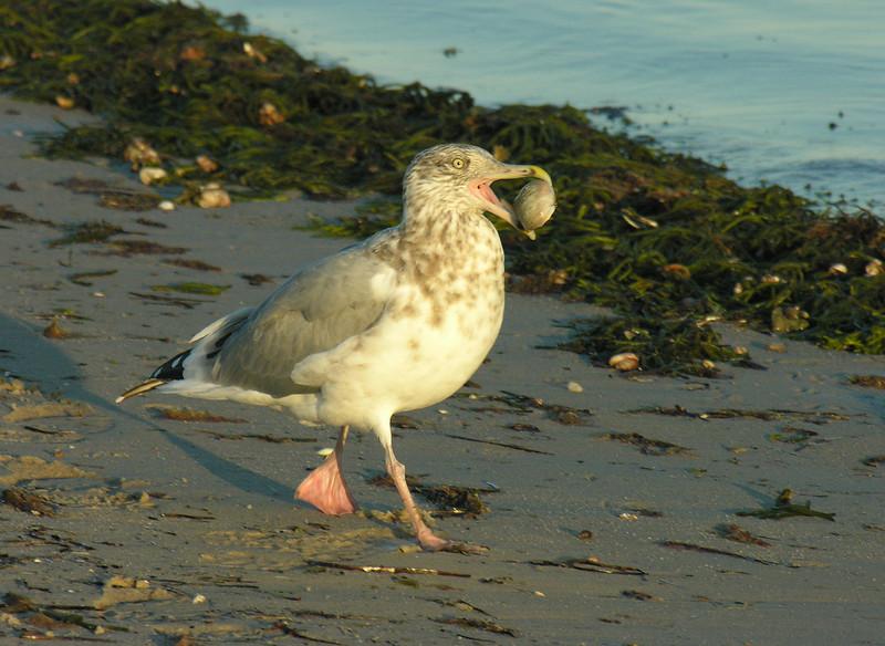 Herring gull (3rd Year) enjoying moon snail supper<br /> West Dennis Beach, Cape Cod, MA