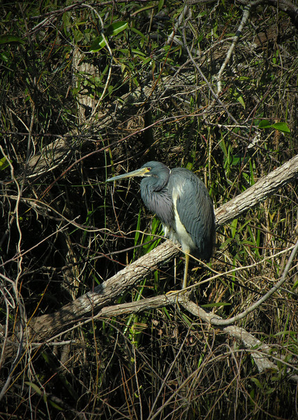 Tricolored heron in tree<br /> Shark Valley, Everglades National Park, FL
