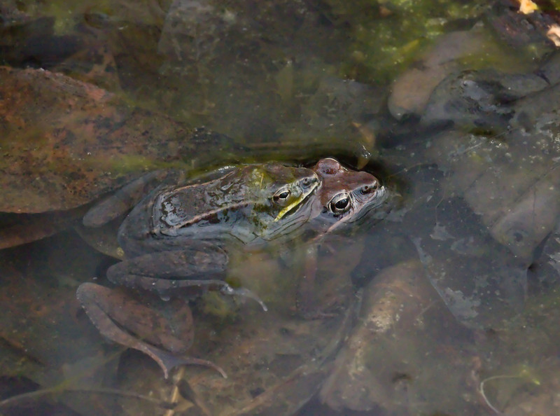 Wood frogs (<I>Rana sylvatica</I>) in amplexus (several days after the big party) Maydale Conservation Park, Colesville, MD