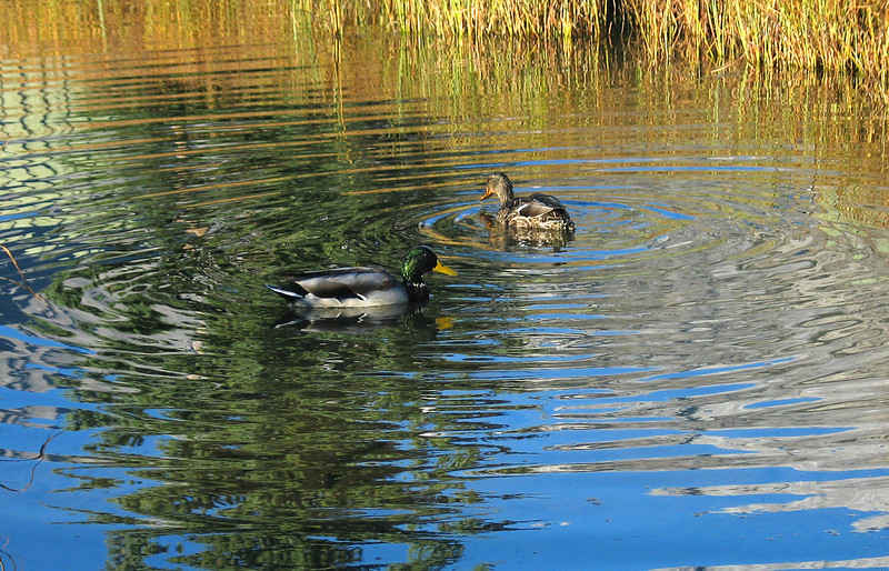 Mallard pair in Policeman's Creek<br /> Canmore, Alberta, Canada