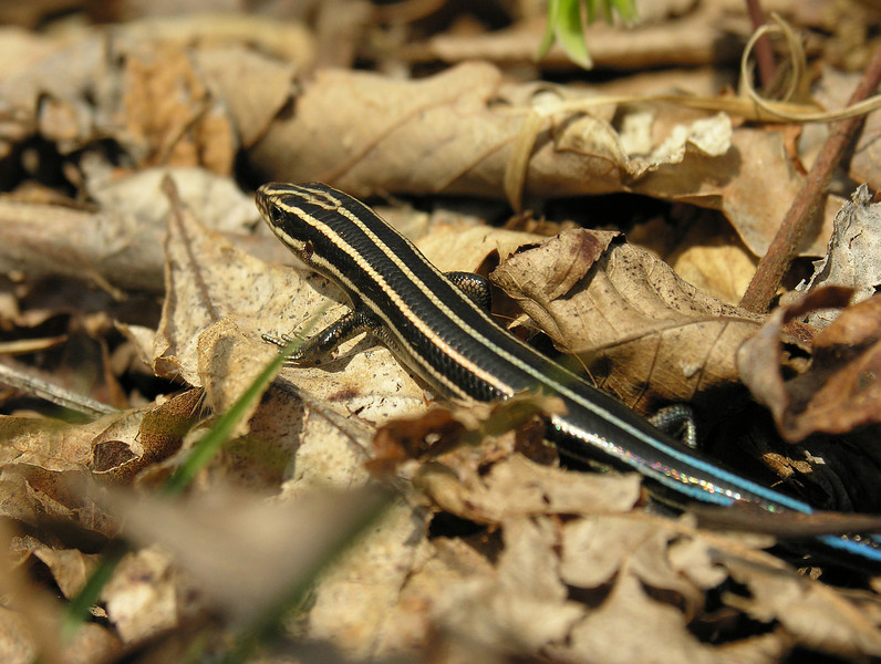 Juvenile five-lined skink (<I>Eumeces fasciatus</I>) C&O Canal Nat'l Historical Park - Carderock Recreation Area, Western Montgomery County, MD