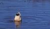 Mallard duck fanny