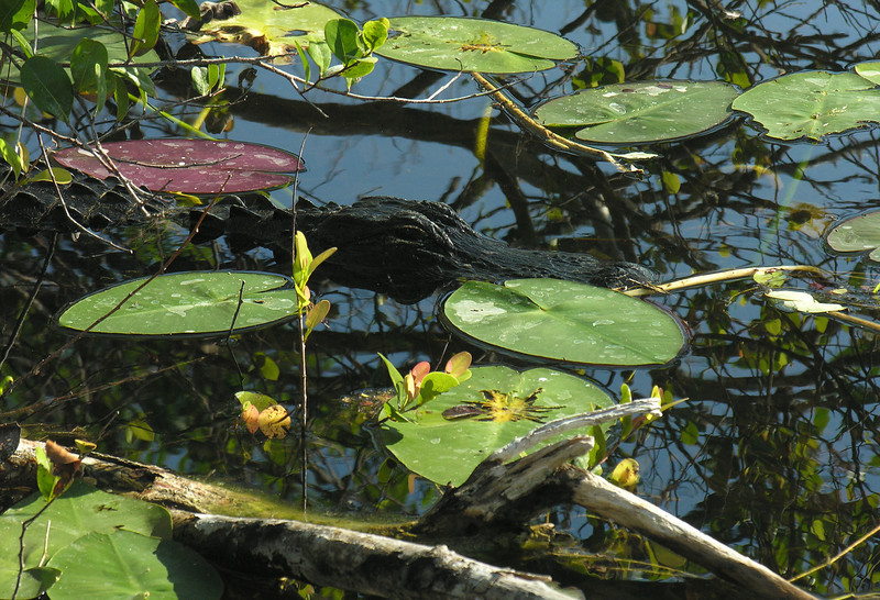 Stealthy alligator<br /> Shark Valley, Everglades National Park, FL