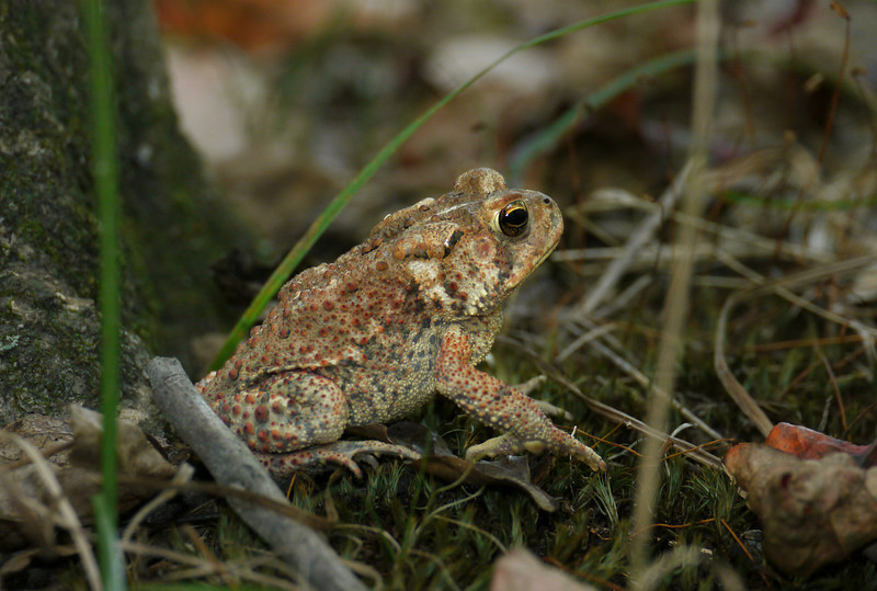 Eastern American toad (<i>Anaxyrus americanus</i>) Huntley Meadows Park, Alexandria, VA